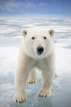 beautiful-wildlife:Polar Bear by Steven KazlowskiClose up of a polar bear on sea ice floating off the coast of Svalbard in search of seals, Norway, Europe.