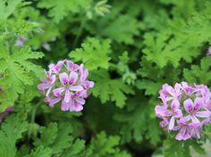 Pelargonium Camphor Rose