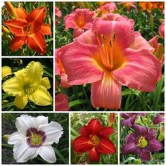 Oakes Daylilies Beginners Collection $49.95