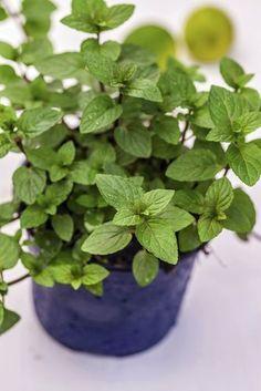 Fiche plante : Menthe