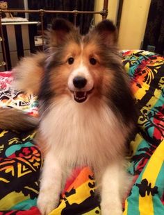 The Shetland Sheepdog originated in the and its ancestors were from Scotland, which worked as herding dogs. These early dogs were fairly Rough Collie, Collie Dog, Border Collie, Cute Puppies, Cute Dogs, Dogs And Puppies, Doggies, Beautiful Dogs, Animals Beautiful