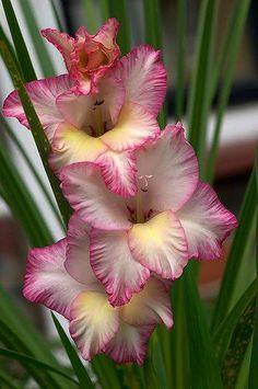 seasonalwonderment:  Gladiolus