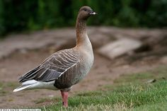 Photograph Pink-footed goose by Antonio Anta Brink on 500px