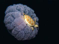 2. Uma tartaruga pegando carona em uma água-viva