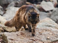Despite opposition from animal lovers, Australia plans to cull millions of feral cats in the next three years.