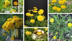 Dandelions – not an annoying weed, but a medicinal plant in your garden Yellow Flowers, Wild Flowers, Flora Intestinal, White Plants, Edible Plants, Medicinal Plants, Growing Plants, Dandelions, Gardening Tips
