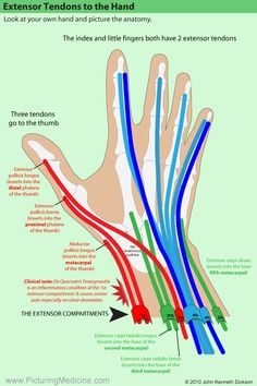 """Picturing Medicine """"Picturing-MD"""" iPhone & Android Apps - Another! Human Body Anatomy, Human Anatomy And Physiology, Muscle Anatomy, Hand Anatomy, Physical Therapy School, Occupational Therapy, Medical Anatomy, Carpal Tunnel, Massage Therapy"""