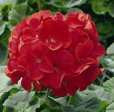 geraniums pictures | Geraniums: Pelargonium Hortorum, 'Orbit™ Red'