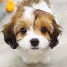 Sugar Spice And Everything Nice The Charming Cavachon Has Got The Right Ingredients To Make The Cutest Companion Cavachon Puppies Dog Club Puppies For Sale