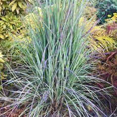 Leach Field Flower Garden Little Bluestem Grass Colorado Landscaping, Yard Landscaping, Landscaping Ideas, North Garden, Pond Water Features, Lawn Sprinklers, Side Garden, Outdoor Sculpture, Native Plants