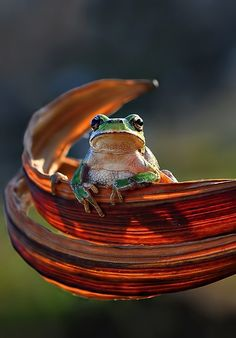 "Frog ""Onlooker"" by Mustafa Ozturk Funny Frogs, Cute Frogs, Beautiful Creatures, Animals Beautiful, Cute Animals, All Nature, Science Nature, Reptiles And Amphibians, Mammals"