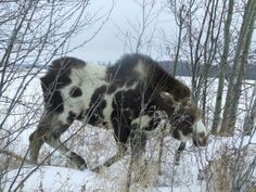 Uniquely marked Canadian moose