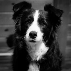 The gaze of a border collie he is a sable merle border collie but he sure looks like an australian shepherd Border Collie Pictures, Border Collie Mix, Border Collie Puppies, Collie Dog, Cute Puppies, Cute Dogs, Dogs And Puppies, Doggies, Bulldog Puppies