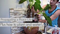 Lets take this peace lily and turn it into another plant! The process of propagation through the rhizome is super easy and you don't need to worry about bein. Garden Plants, Indoor Plants, House Plants, Peace Lillies, Lilies, Lilly Plants, Peace Lily Plant, One Peace, Low Light Plants
