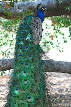 Peacock Painting, Peacock Art, Pretty Birds, Beautiful Birds, Male Peacock, Peacock Images, Animal Skeletons, Crazy Bird, Peafowl