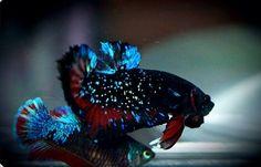 Galaxy plakat Betta Colorful Fish, Tropical Fish, Home Aquarium Fish, Betta Fish Types, Fish Care, Beta Fish, Siamese Fighting Fish, Marine Aquarium, Ocean Creatures