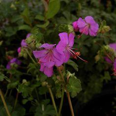 GERANIUM cantabrigiense 'Karmina' (Bec de Grue) : Une des meilleures plantes vivaces, autant par sa culture facile, sa rusticité et par la diversité des formes et des coloris. Certains sont d'excellents couvre-sols adaptés à de grandes plantations. Ils ont aussi l'avantage de demander peu de soins. Feuillage dense, lustré et odorant. Très bon couvre-sol, bien persistant. Floraison remarquable d'intensité, rose carmin.
