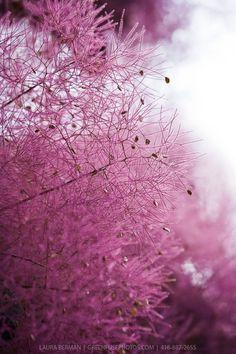 Purple Smoke Bush (Cotinus coggygria)