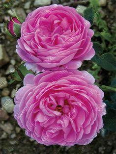 'Archiduchesse Elisabeth d'Autriche' est un rosier buisson très vigoureux (1m). Sa floraison est très remontante et débute des le mois de juin. Les fleurs sont grandes, pleines et doubles à ouverture de la corolle à plat. Elles sont de couleur rose et ont un parfum puissant. Bourbon. Moreau et Robert, 1881.