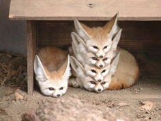 """animal-factbook: """"Fennec Foxes are highly social creatures with a rigid social hierarchy. When a pack of Fennec Foxes rest, they form what is often called a """"Fennec Stack"""" with the alpha fox on the. Cute Creatures, Beautiful Creatures, Animals Beautiful, Beautiful Cats, Animals Amazing, Beautiful Images, Cute Little Animals, Cute Funny Animals, Funny Foxes"""