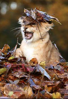 Foto: #beautiful Amazing view  Grandes felinos Incluye a las cuatro especies de felino en el género Panthera: el león (Panthera leo), tigre (Panthera tigris), leopardo (Panthera pardus) y el jaguar (Panthera onca). Los miembros de este género son los únicos capaces de rugir, y esto se considera como un elemento característico de los grandes felinos Todos los felinos son eficientes depredadores carnívoros. Su rango de distribución incluye América, África, Asia y Europa. Sólo Oceania y la…