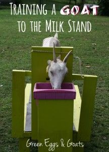 Training a Goat to the Milk Stand