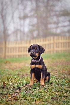 I want another rottweiler!