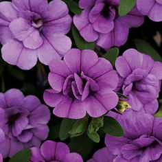 Calibrachoa MiniFamous™ Double Amethyst (pack of 6)