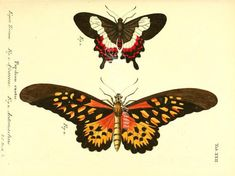 butterflies-05330  papilio ascanius papilio antimachus
