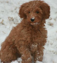 Stroodles Goldendoodles Oklahoma, Texas, Arkansas Available Puppies