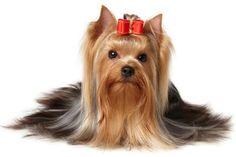Los cuidados del cachorro Yorkshire Terrier