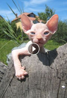 Good Photographs cat breeds sphynx Concepts Cats with major the ears might well always be the single most attractive creatures in the world. These very special str Animals And Pets, Baby Animals, Cute Animals, Chat Rex, Beautiful Cats, Animals Beautiful, Cool Cats, I Love Cats, Kittens Cutest