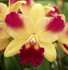 Sunset Valley Orchids - Superior Hybrids for Orchid Enthusiasts