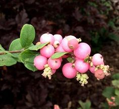 Best Plants for a Slope   Midwest Living. Snowberries. First flowers then berries that last into winter.