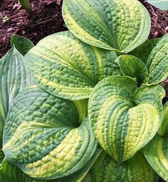 'Brant Rock Jetty' hosta was hybridized by Rick Goodenough in Marshfield, MA