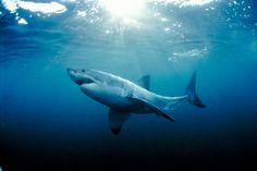 Trendy Tattoo Animal Rights Eyes Ideas Shark Tattoos, Mermaid Tattoos, Animal Tattoos, Mermaid Sketch, Shark Bait, Disney Princess Tattoo, Deep Blue Sea, Great White Shark, Shark Week