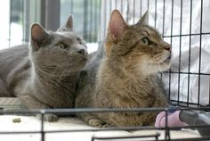 http://anjelliclejudy.chipin.com/precious-seniors-drew-and-bubbas-vet-bill-anjellicle-cats-rescue