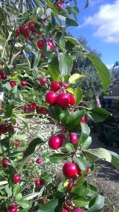 Buy Malus 'Gorgeous', Crab apple 'Gorgeous', online plants for sale, at Urban Jungle plant nursery via mail order. Deciduous Trees, Trees And Shrubs, Shrubs For Sale, Crab Apples, Plant Nursery, Plant Sale, Branches, White Flowers, Jelly