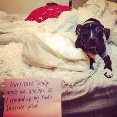 #fbf to that time Guybrush destroyed my pillow and we were forced by dog law to shame him