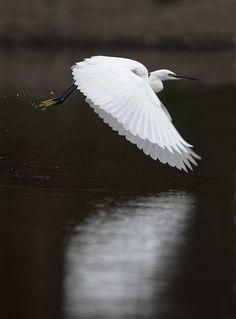 Little Egret by Peter Edge, via 500px