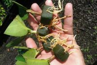 RuangTani.Com -Kelengkeng Dimocarpus longan, adalah tanaman buah yang berasal dari daratan Asia Tenggara. Seperti lerak, biji lengkeng yang mengandung saponin kadang-kadang digunakan untuk mencuci rambut. Biji, buah, daun dan bunga lengkeng juga digunakan sebagai obat tradisional, terutama di ramuan Cina. Daunnya mengandung quercetin dan quercitrin. 6 Panduan Lengkap Cara Budidaya Lengkeng, Kelengkeng Manis Peluang Bisnis […]