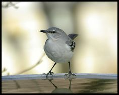 https://flic.kr/p/aBG8SR | Meet the mimic... | Good morning everyone and a rare Happy Feathery Friday to you. While out & about in the yard recently attempting to photograph returning White-throated Sparrows and Juncos, this Northern Mockingbird (Mimus polyglottos) made a surprise visit to the birdbath. I rarely see Mockingbirds in the yard and have never seen one drink from or visit the birdbath before. It spent about 30 seconds there and fortunately I was nearby with my camera ready wh...