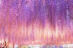 This 144-year-old wisteria in Japan is the most beautiful tree you have ever seen.