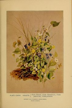 1899 - A guide to the wild flowers     by Lounsberry, Alice, 1872-1949; Rowan, Ellis, 1848-1922; Britton, Nathaniel Lord, 1859-1934