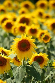 Sunflowers - Aix en Provence.  Repinned by www.mygrowingtraditions.com