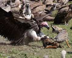 Vulture Fights Off a Wolf for Food