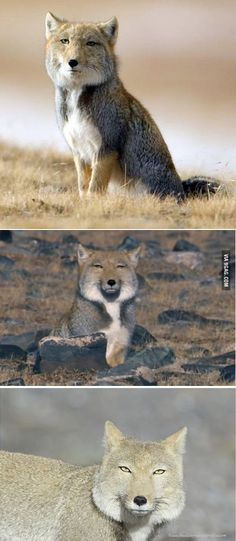 Tibetan Fox has had enough of your bullshit and doesn't find it amusing. - 9GAG