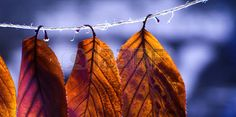foglie: Isolated Orange Autumn Leaves Background
