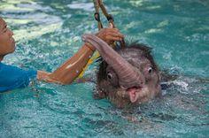HIDROTERAPIA PARA ELEFANTES. Clear Sky es un elefantito de seis meses que recibe hidroterapia en el Parque Nong Nooch Tropical Garden de Tailandia después de perder parte de su pata izquierda en una trampa. El bebé Clear Sky ahora está aprendiendo a...