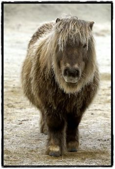 Shetland pony  I want one so badly! !! They are amazingly cute!